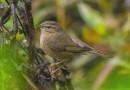 นกกระจิ๊ดสีคล้ำ   Dusky Warbler