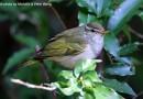 นกกระจิ๊ดหัวมงกุฎ   Eastern Crowned Warbler