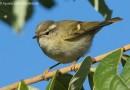 นกกระจิ๊ดพันธุ์หิมาลัย   Hume's Leaf Warbler