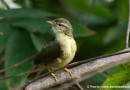 นกกระจิ๊ดอกลายเหลือง   Yellow-streaked Warbler