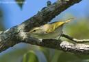 นกกระจิ๊ดหางขาวเล็ก   Davison's Leaf Warbler