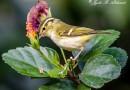 นกกระจิ๊ดตะโพกเหลืองคิ้วขาว   Lemon-rumped Warbler