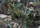 นกกระจิ๊ดตะโพกเหลืองคิ้วเหลือง   Pallas's Leaf Warbler