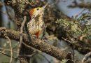 นกหัวขวานด่างหน้าผากเหลืองYellow-crowned Woodpecker