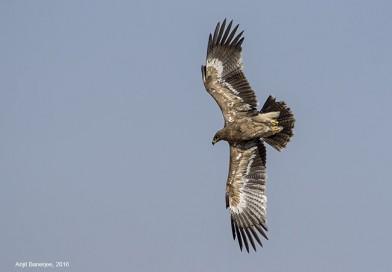 นกอินทรีทุ่งหญ้าสเต็ป  Steppe Eagle