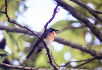 พบ Indochinese Blue Flycatcher