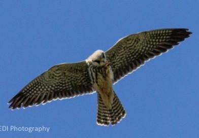 เหยี่ยวตีนแดง Amur Falcon