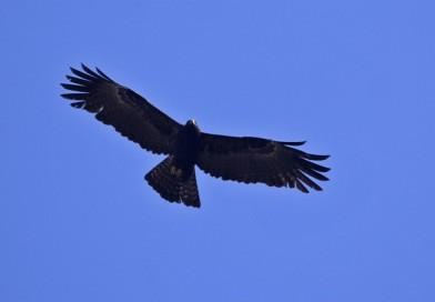 นกอินทรีดำ  Black Eagle