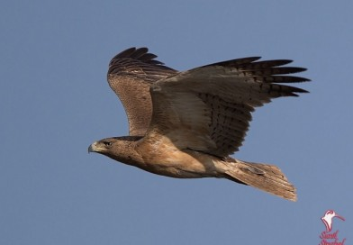 นกอินทรีแถบปีกดำ  Bonelli's Eagle