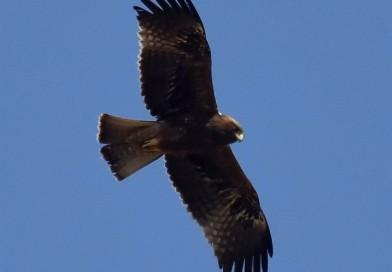 นกอินทรีเล็ก  Booted Eagle