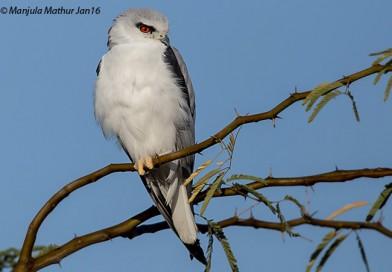 เหยี่ยวขาว Black-shouldered Kite