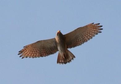 เหยี่ยวปีกแดง  Rufous-winged Buzzard