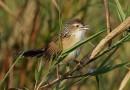 นกพงหญ้าRufous-rumped Grassbird