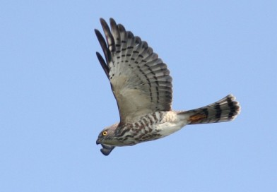เหยี่ยวนกเขาพันธุ์จีน  Chinese Sparrowhawk