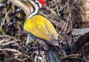 นกหัวขวานสามนิ้วหลังทองCommon Flameback