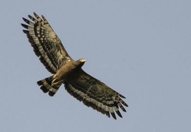 เหยี่ยวรุ้ง  Crested Serpent Eagle