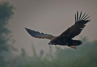 อีแร้งดำหิมาลัย Cinereous Vulture