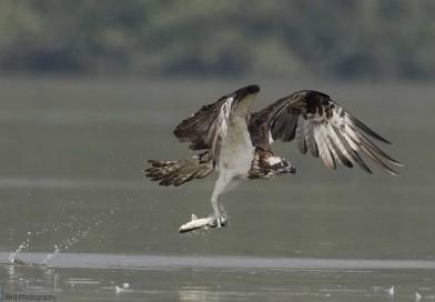 เหยี่ยวออสเปร  Western Osprey