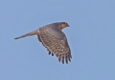 เหยี่ยวนกกระจอกใหญ่ Eurasian Sparrowhawk