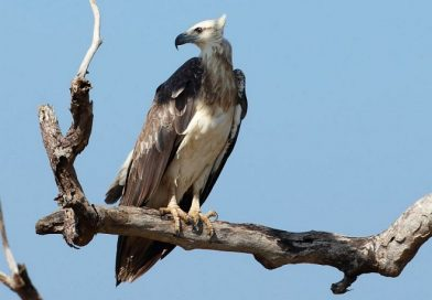 นกออก  White-bellied Sea Eagle