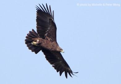 นกอินทรีปีกลาย  Greater Spotted Eagle