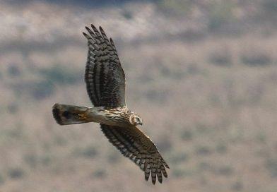 เหยี่ยวทุ่งแถบเหนือ Hen Harrier
