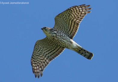 เหยี่ยวนกเขาพันธุ์ญี่ปุ่น  Japanese Sparrowhawk