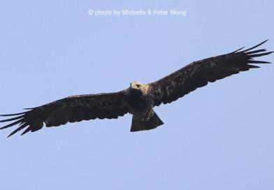 นกอินทรีหัวไหล่ขาว  Imperial Eagle