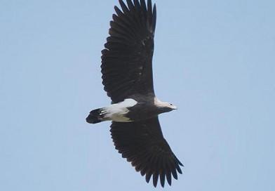 เหยี่ยวปลาเล็กหัวเทา Lesser Fish Eagle