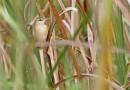 นกพงนาพันธุ์แมนจูเรียManchurian Reed Warbler
