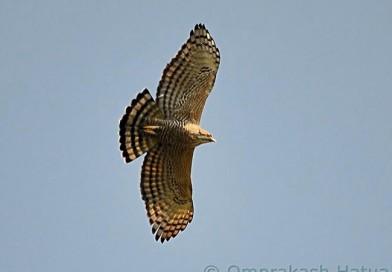 เหยี่ยวภูเขา  Mountain Hawk Eagle