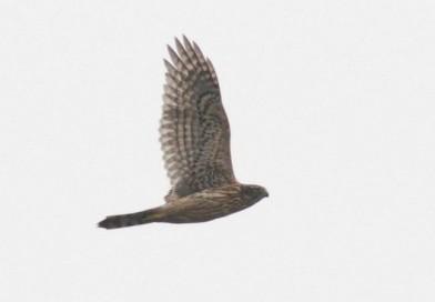 นกเหยี่ยวนกเขาท้องขาว  Northern Goshawk