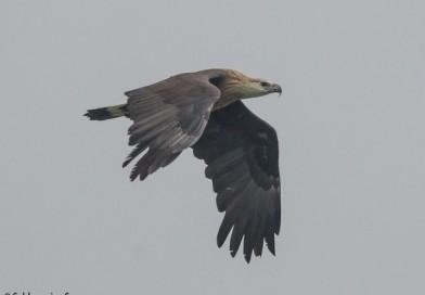 นกอินทรีหัวนวล  Pallas's Fish Eagle
