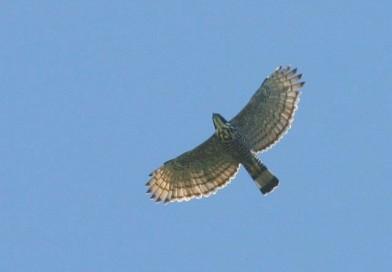 เหยี่ยวดำท้องขาว Blyth's Hawk Eagle