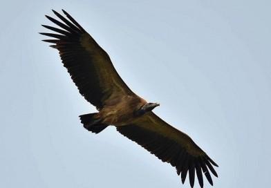 อีแร้งสีน้ำตาล Slender-billed Vulture