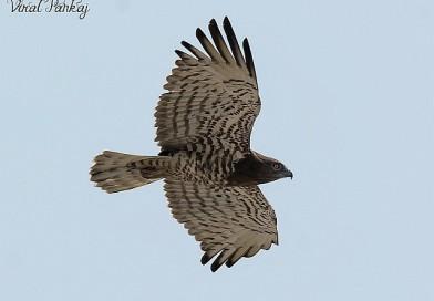 เหยี่ยวนิ้วสั้น Short-toed Snake Eagle