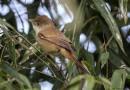 นกพงปากหนาThick-billed Warbler