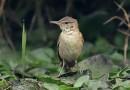 นกพงใหญ่พันธุ์ญี่ปุ่นOrientalReedWarbler