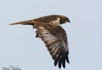 เหยี่ยวทุ่งพันธุ์เอเชียตะวันออก Eastern Marsh Harrier
