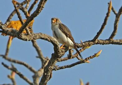 เหยี่ยวเล็กตะโพกขาว White-rumped Falcon