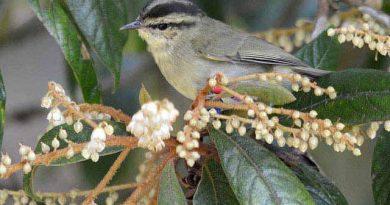 นกกระจิ๊ดภูเขาMountain Leaf Warbler