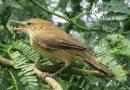 นกพงปากยาวLarge-billed Reed Warbler