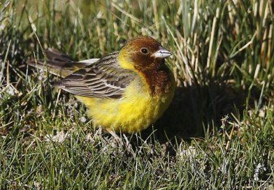 นกจาบปีกอ่อนหัวแดงRed-headed Bunting