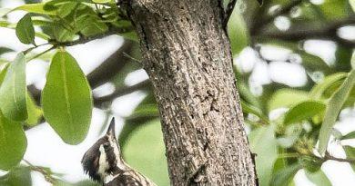 นกหัวขวานด่างแคระปักษ์ใต้Sunda Pygmy Woodpecker