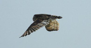 นกแสกทุ่งหญ้า Grass Owl