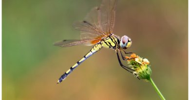 แมลงปอบ้านไตรมิตรขายาว