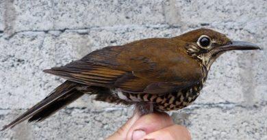 นกเดินดงหิมาลัย Himalayan ThrushZoothera salimalii