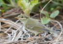 นกกระจิ๊ดคัมชัตกา Kamchatka Leaf Warbler