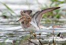 นกชายเลนอกลาย Pectoral Sandpiper