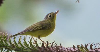 นกกระจ้อยวงตาสีทองหางสีเรียบ Alstrӧm's Warbler
